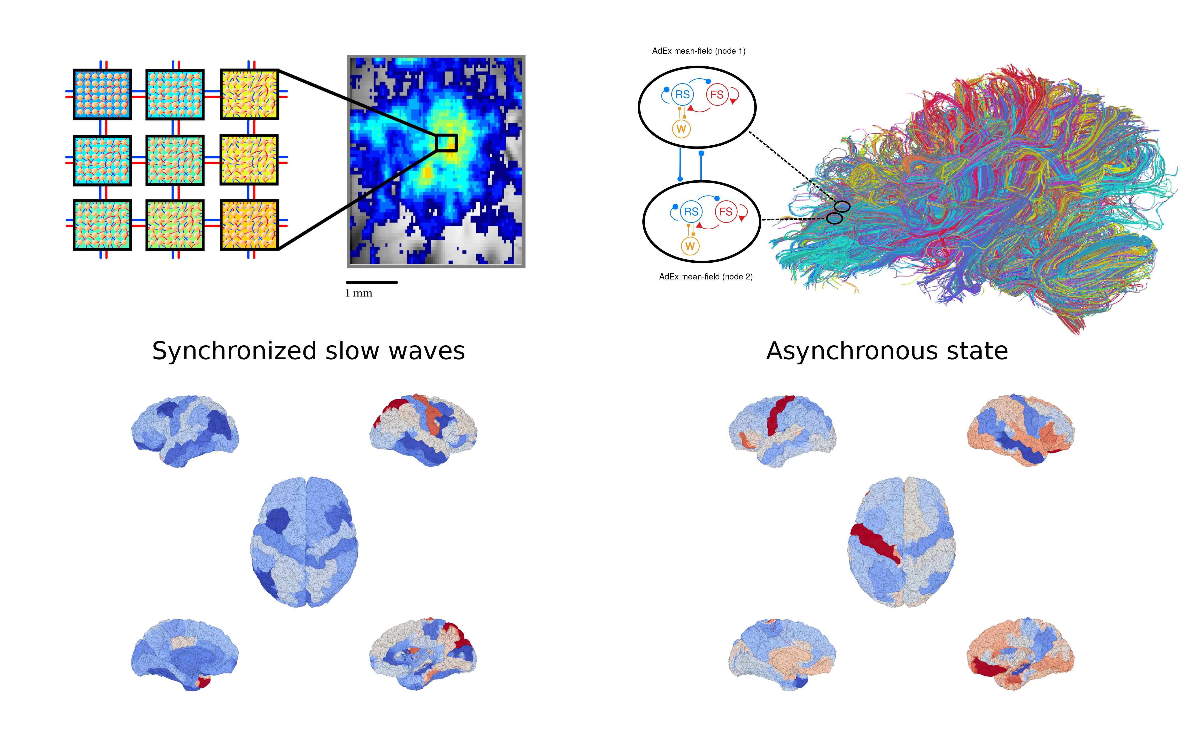 red-blue-spontaneous-brain-activity-2mb.jpg